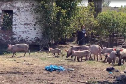 Сотни одичавших свиней уничтожили огороды на Украине