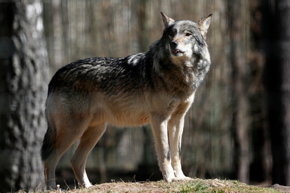 Напавший на людей в Крыму волк оказался бешеным