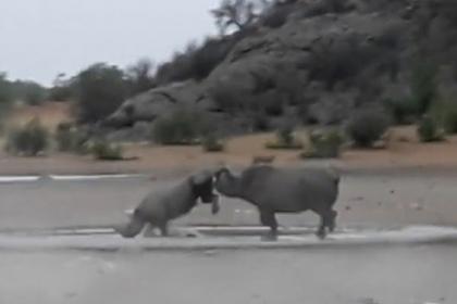 Сражение редчайших черных носорогов попало на видео