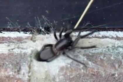 Ужасающий паук со светящимися челюстями вылез из стены офиса