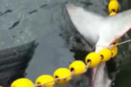 Рыбак спас акулу-людоеда от гибели