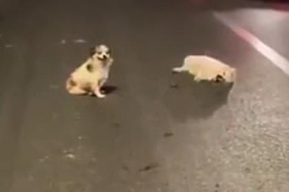 Собака три часа сторожила умирающего друга