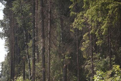 Подмосковные леса восстановили после эпидемии жука-короеда
