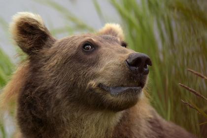 Медведь растерзал российского сторожа