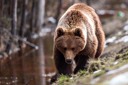 Российские полицейские спасли грибника от шедшего за ним 10 километров медведя