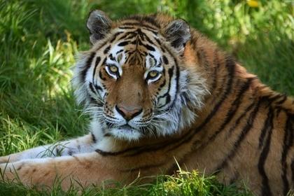 В российском регионе тигры начали убивать собак