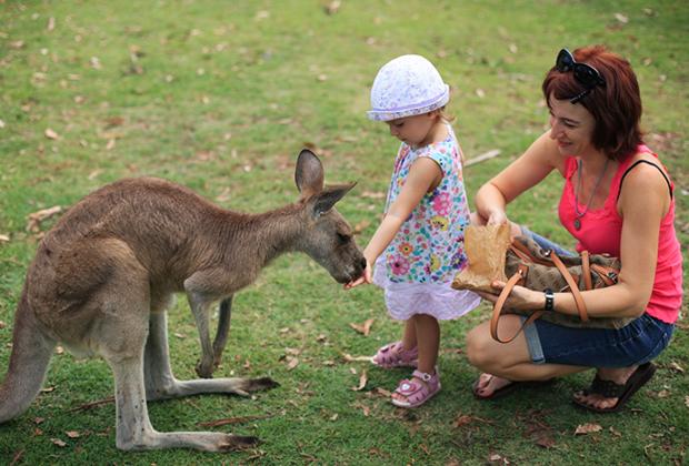 Это мы с младшей дочкой в брисбенском парке Loan Pine Koala Sanctuary. Кормим кенгуру. Они очень милые, но их, к сожалению, едят. В супермаркетах продаются стейки из кенгуру. Еще их часто сбивают машины на дорогах. Название «кенгурятник» пошло от большой решетки впереди машины. Они монтируются на автомобили, чтобы не повредить перед машины, если на дороге попадется кенгуру.