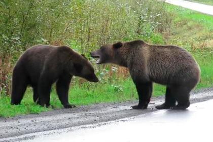 Драка двух медведей гризли на дороге попала на видео