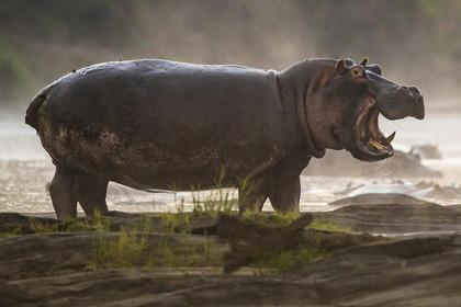 Агрессивные бегемоты помешали спасти детей после нападения крокодила