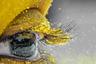 Каждый год в начале марта в Индии проходит фестиваль весны Холи. Люди сжигают чучела, устраивают шествия и осыпают друг друга цветным порошком. Холи проводится и во многих других странах, в том числе в России. Чтобы передать дух праздника на фото, многие делают снимки разноцветной толпы. Индиец Сритам Кумар Сети пошел по другому пути. Во время фестиваля он заприметил мальчика, лицо которого было полностью желтым, и решил сделать макроснимок его глаза.
