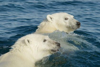 Белые медведи подвинули баржу в море
