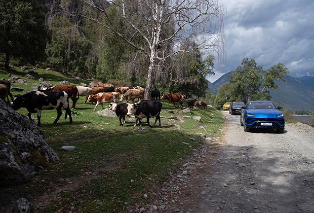 Lamborghini Urus получил свое имя в честь вымершего быка тура, который обитал в том числе и на Алтае. Это не первый автомобиль повышенный проходимости в истории марки. С 1986 по 1993 год было выпущено 328 внедорожников LM002, которые известны россиянам благодаря съемкам в фильмах «Крестоносец» и «Бригада».