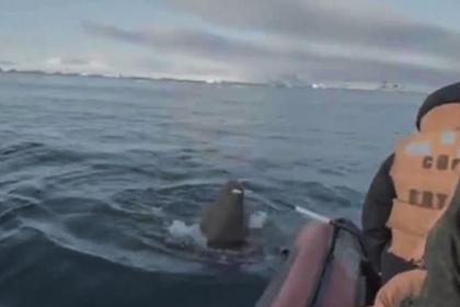 Появилось видео нападения моржа на экспедицию Северного флота