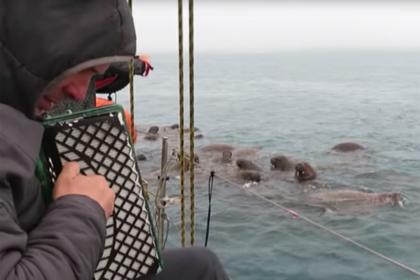 Впечатлительным моржам в Арктике устроили концерт с баяном