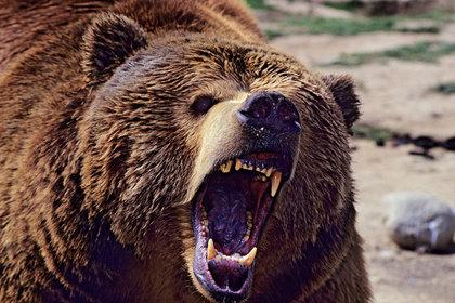 Любопытный медведь захотел посмотреть на туристов и загнал их на скалу