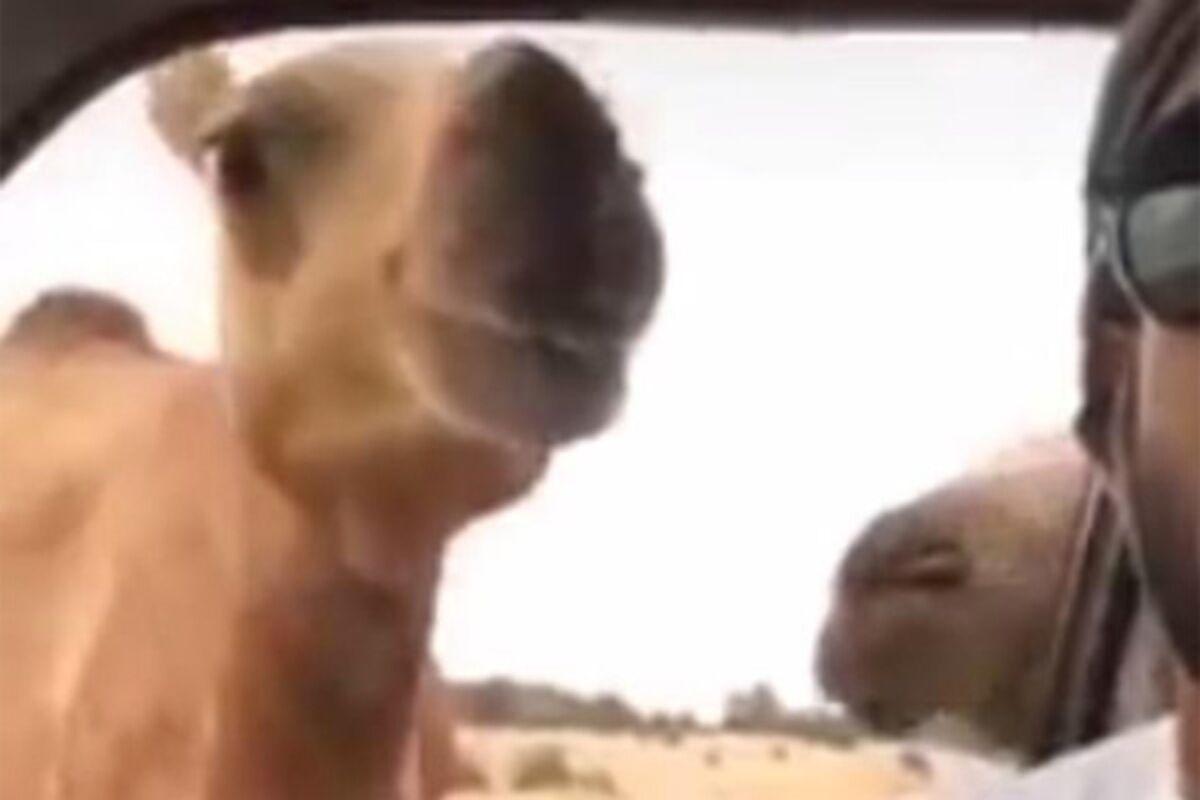 Автомат верблюд