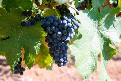 Названа главная польза винограда