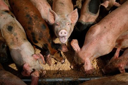 Фермер в«Поднебесной»  вырастил огромную  свинью размером сбелого медведя