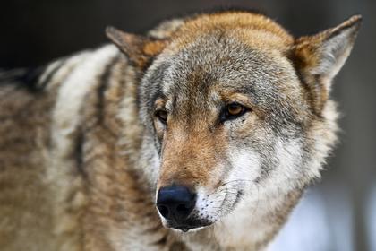 Волки напали на российское село и покусали местных жителей