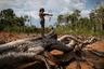 Это дерево погибло во время лесных пожаров, вспыхнувших по вине бразильских фермеров. Теперь на нем играет с самодельным луком и стрелами семилетняя внучка вождя Эмидио Тембе, который возглавляет небольшое село Ка'а-кир. «В этих местах был девственный лес, это были древние джунгли, —  рассказывает он. — Но пришел огонь и опустошил землю».