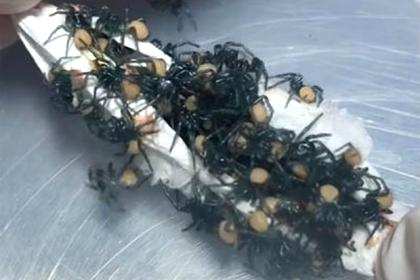 Рождение сотни смертоносных пауков попало на видео