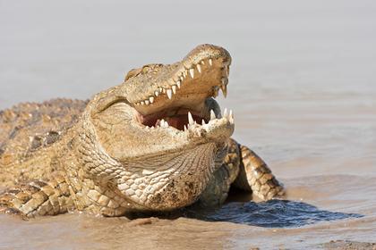 Крокодил убил верующую на пути в церковь