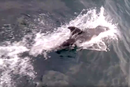 Гонки дельфинов с катером в Заполярье попали на видео