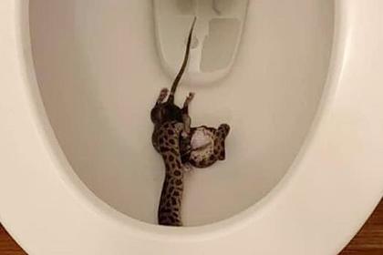 Женщина пошла ночью в туалет и обнаружила в унитазе пожирающего крысу питона
