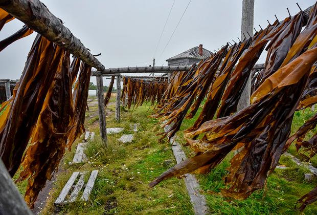 Сушка ламинарии на острове Малая Муксалма