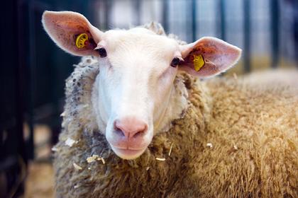 Российским зекам предложили выдавать овец для исправления