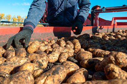 В Заполярье собрали небывалый урожай картофеля