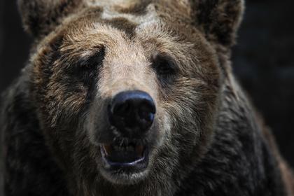 Голодный медведь растерзал огромного пса на глазах у россиянки