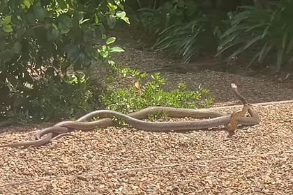Две смертоносные змеи схлестнулись в битве за самку и напугали женщину