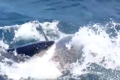 Гигантская хищная рыба укусила за голову любвеобильную акулу-людоеда