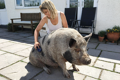 Подаренный британке минипиг оказался обычной свиньей