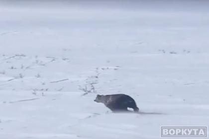 Видео погони охотников за медведем и росомахой взбесило россиян