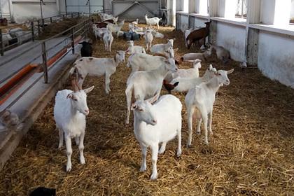 Голландские фермеры посетили козоводческое хозяйство в Подмосковье