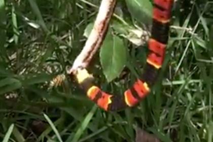Шершень помешал одной змее съесть другую