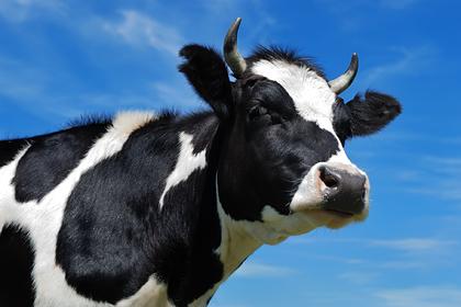Агрессивная корова устроила полицейскую погоню с вертолетом