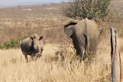 Молчаливое противостояние слона и носорога попало на видео