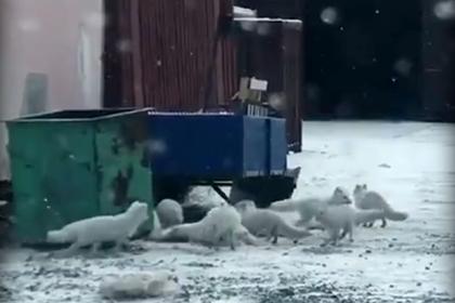 Голодные песцы пришли за мусором в Дудинку