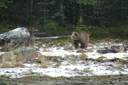 Медведи повадились ходить в гости к жителям Заполярья