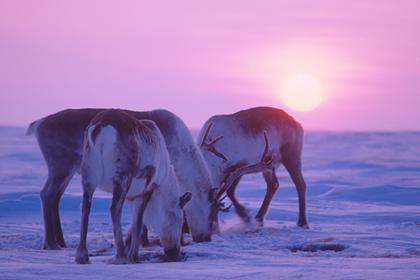 Для диких северных оленей создадут особую территорию в России