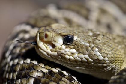 Укушенный ядовитой змеей турист потерял сознание и умер