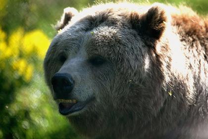 Подстреленный медведь упал с дерева и покусал охотника