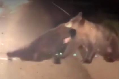 Медведица унесла с дороги раненого детеныша и попала на видео