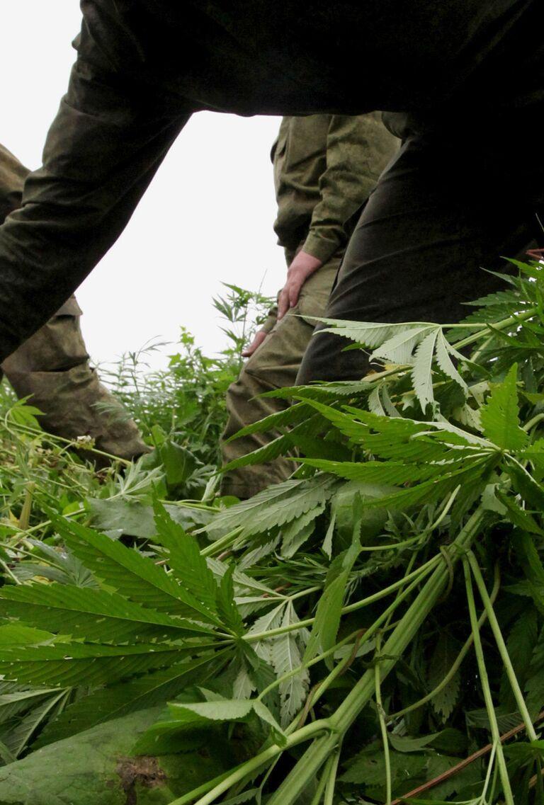 И статья марихуаны хранение сбыт конопли показания масло
