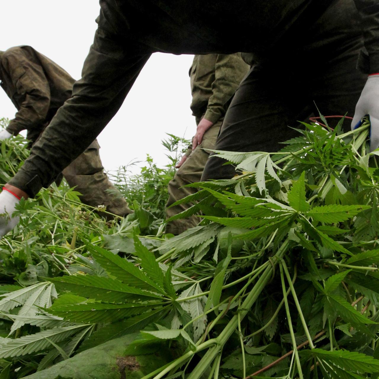Наказания за марихуану в россии из конопли чай можно пить