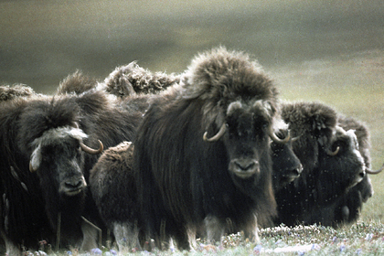 На Таймыре начнут разводить овцебыка