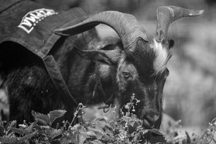 Умер друг тигра Амура козел Тимур